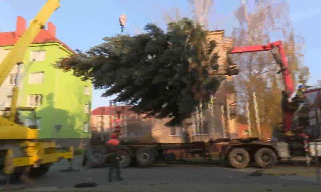 Jak se kácel prostějovský vánoční strom
